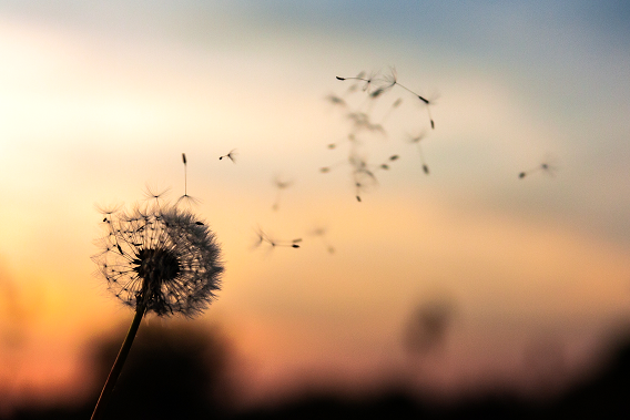 seeds of the dandelion flower flying in the night sky, symbolizing how trauma affects the body