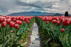 a field of tulips, symbolizing the power of CranioSacral therapy (CST)