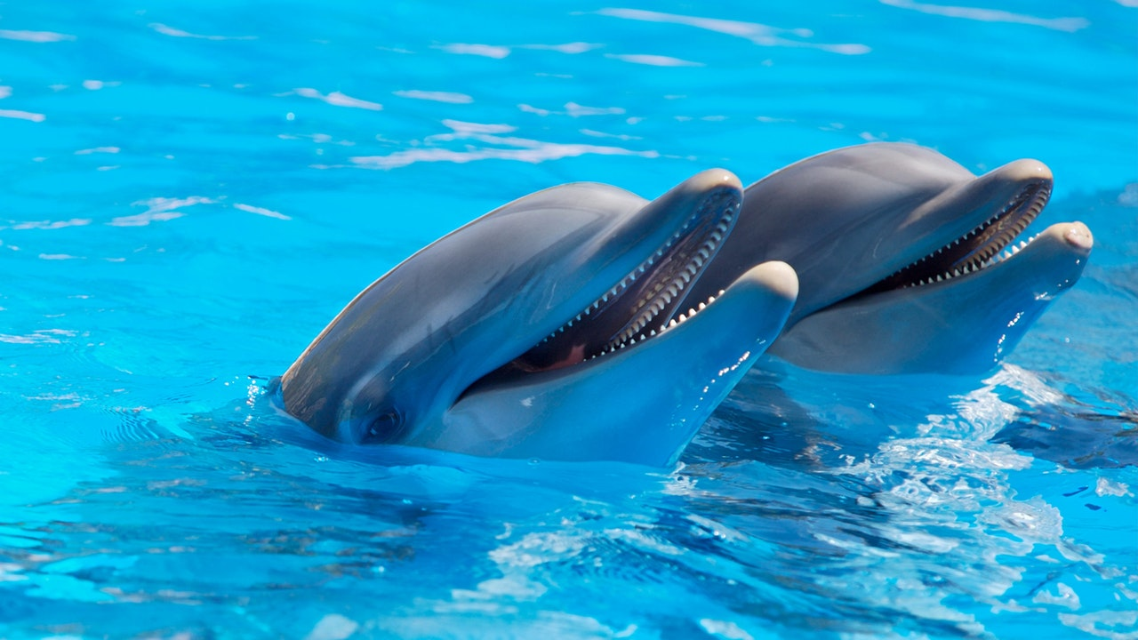 two dolphins holding their heads out of the water, Somato Emotional Release Therapy for pain relief