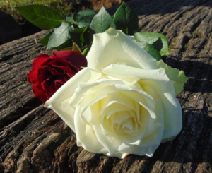 a white and a red rose on a wooden table, c section or natural birth